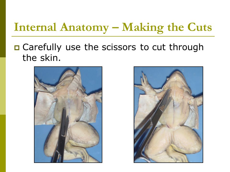 Internal Anatomy – Making the Cuts