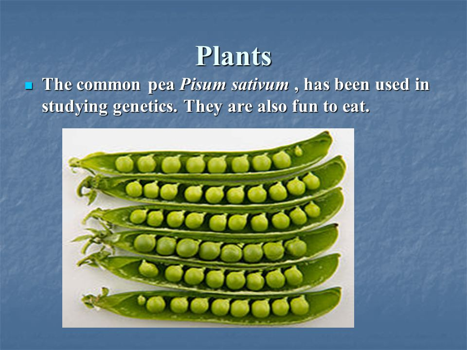 Plants The common pea Pisum sativum , has been used in studying genetics. They are also fun to eat.