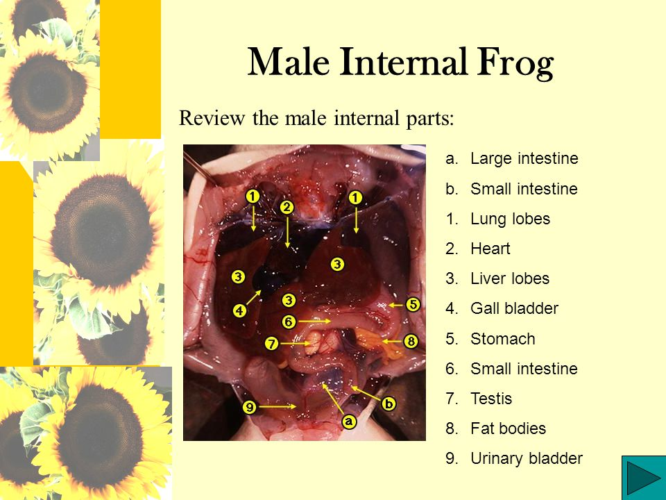 Male Internal Frog Review the male internal parts: Large intestine