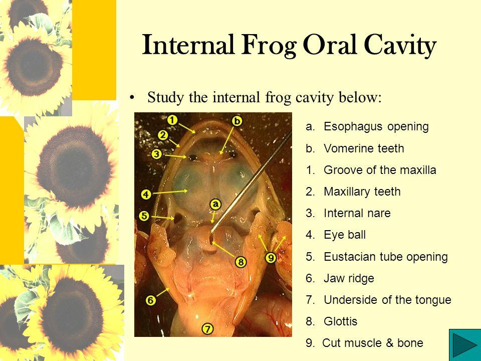 Internal Frog Oral Cavity