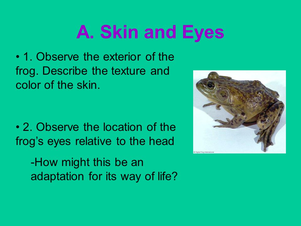 A. Skin and Eyes 1. Observe the exterior of the frog. Describe the texture and color of the skin.