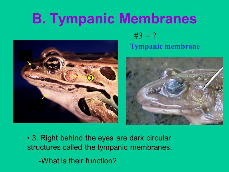 B. Tympanic Membranes #3 = Tympanic membrane