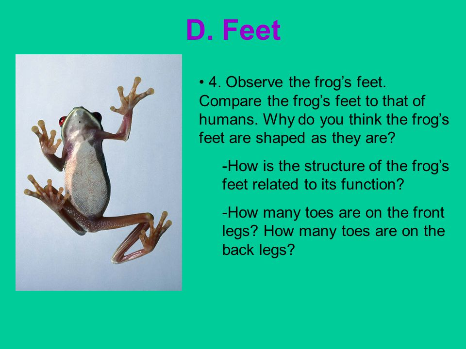 D. Feet 4. Observe the frog's feet. Compare the frog's feet to that of humans. Why do you think the frog's feet are shaped as they are