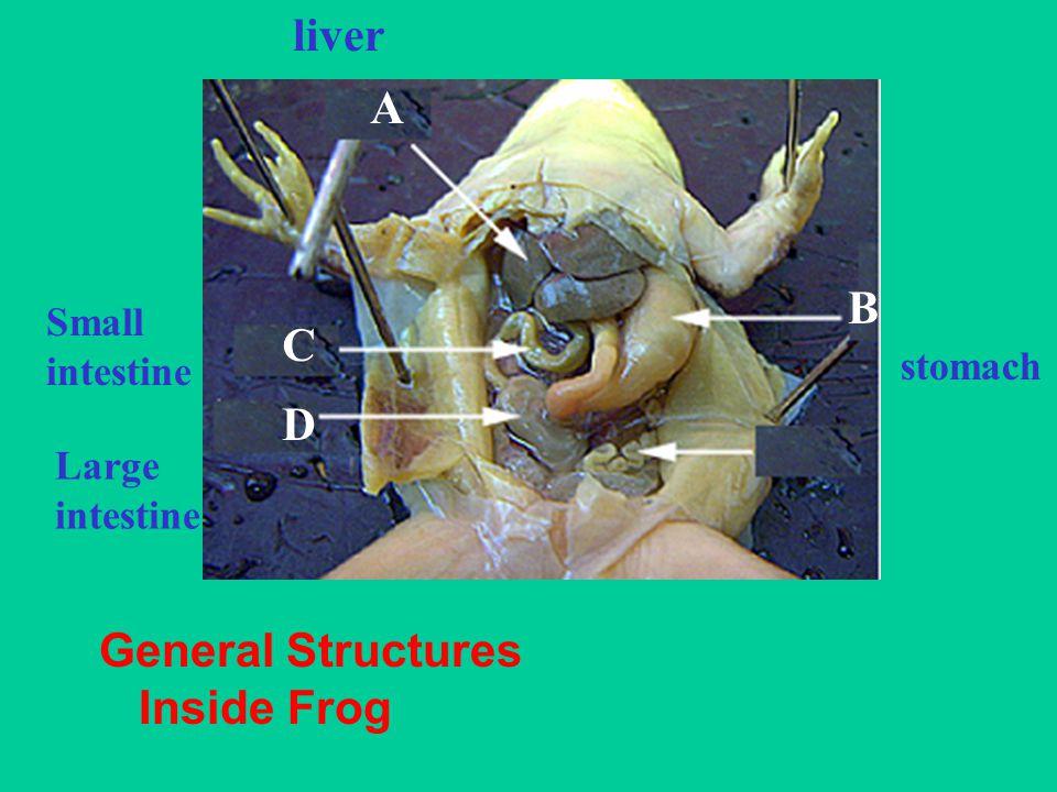 General Structures Inside Frog