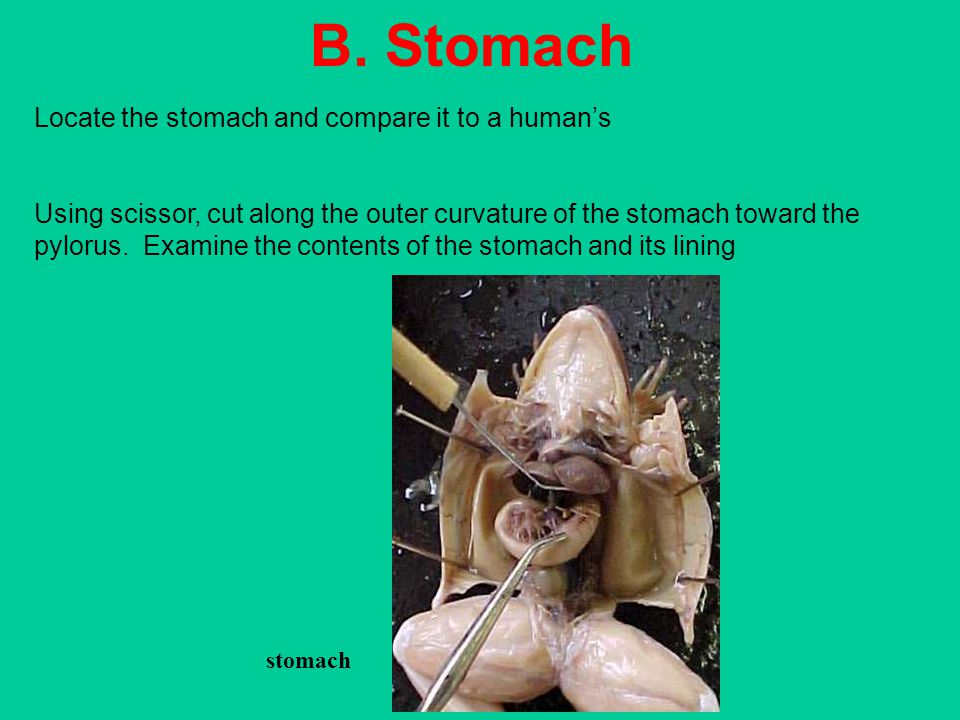 B. Stomach Locate the stomach and compare it to a human's