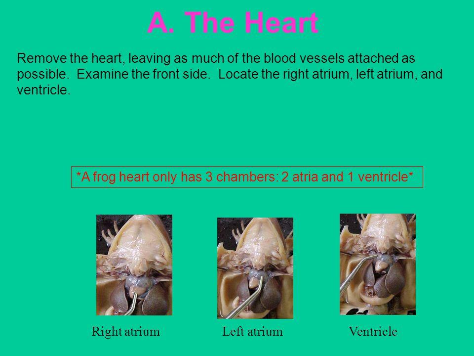 A. The Heart