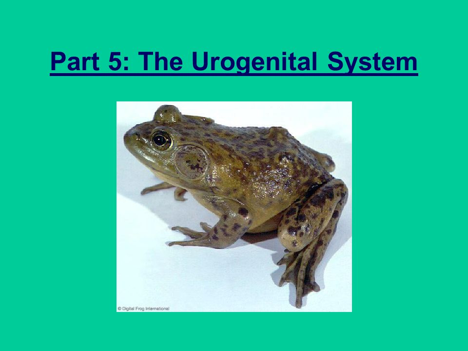Part 5: The Urogenital System