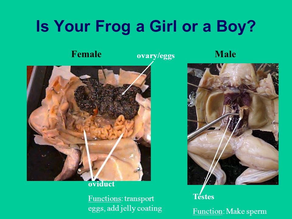 Is Your Frog a Girl or a Boy