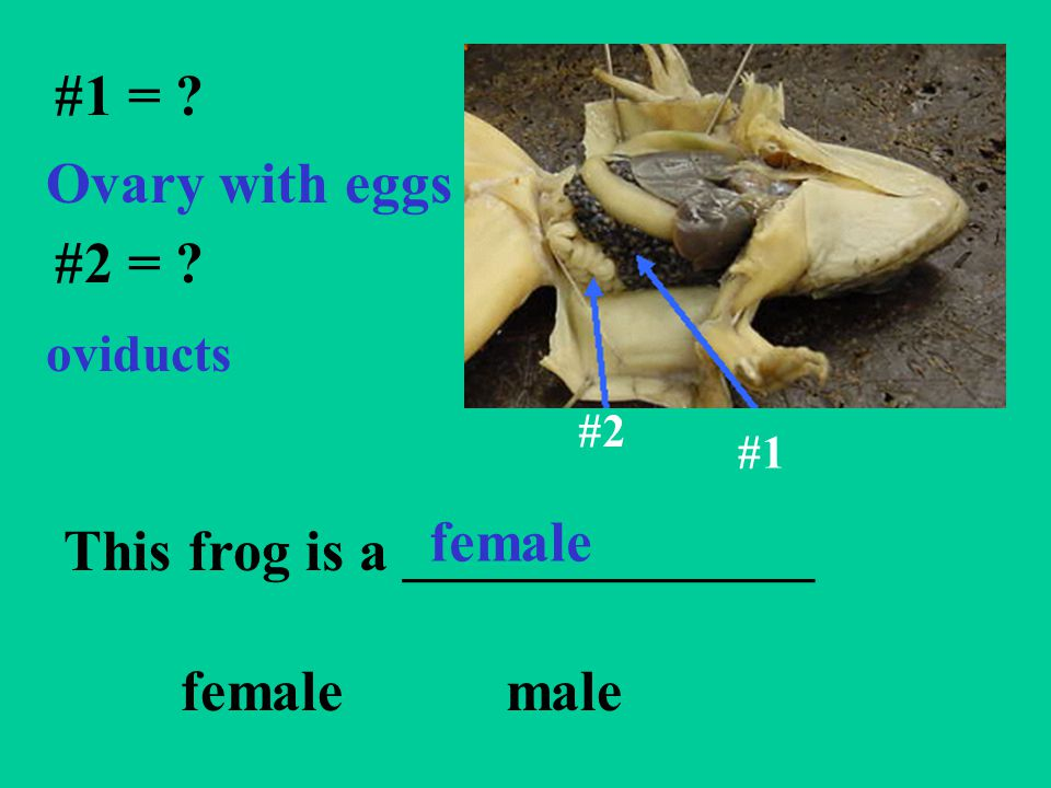 This frog is a ______________ female male
