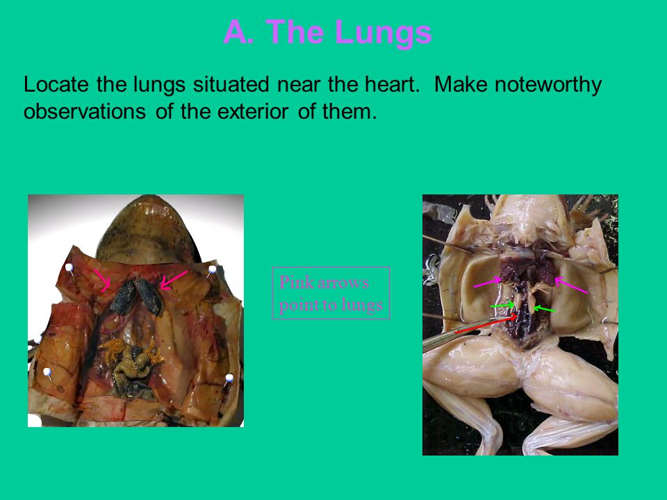 A. The Lungs Locate the lungs situated near the heart. Make noteworthy observations of the exterior of them.