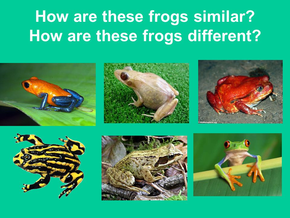 How are these frogs similar How are these frogs different