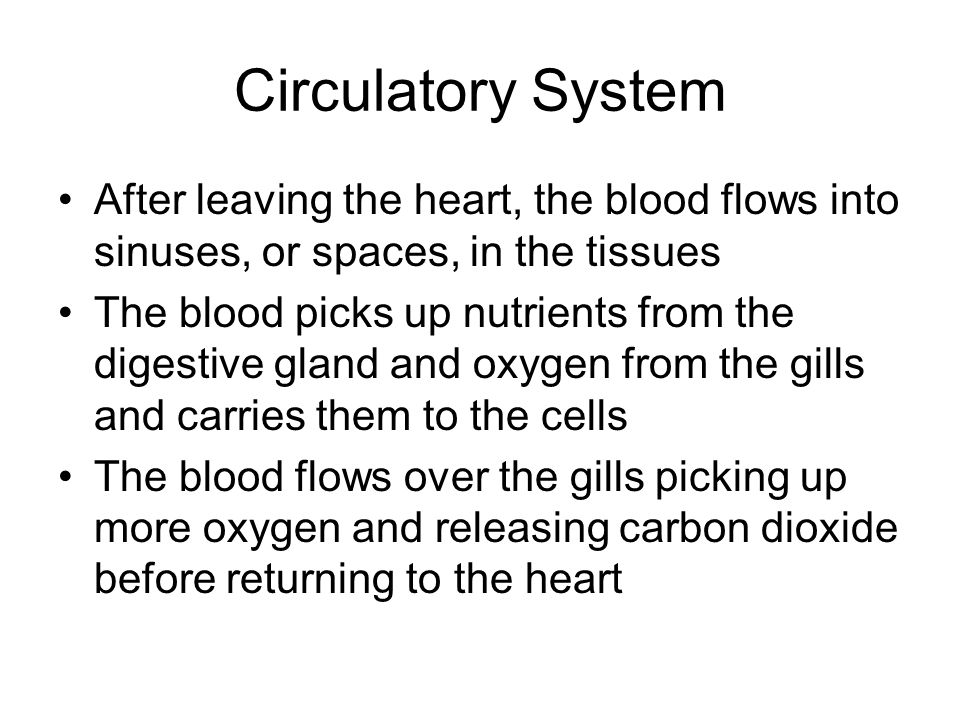 Circulatory System After leaving the heart, the blood flows into sinuses, or spaces, in the tissues.