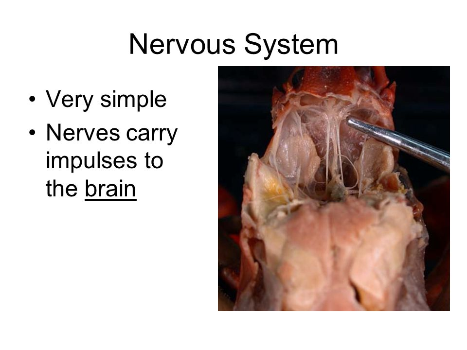 Nervous System Very simple Nerves carry impulses to the brain