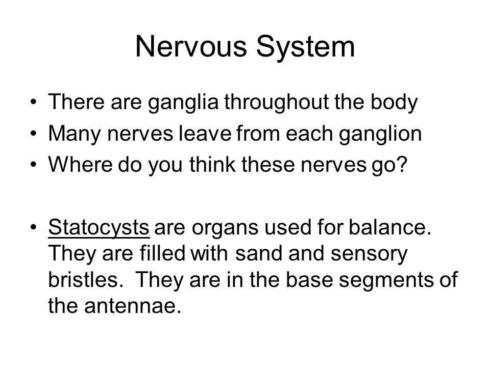 Nervous System There are ganglia throughout the body