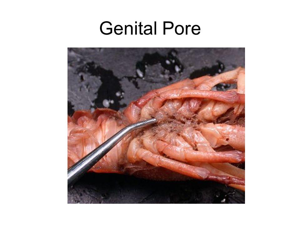 Genital Pore