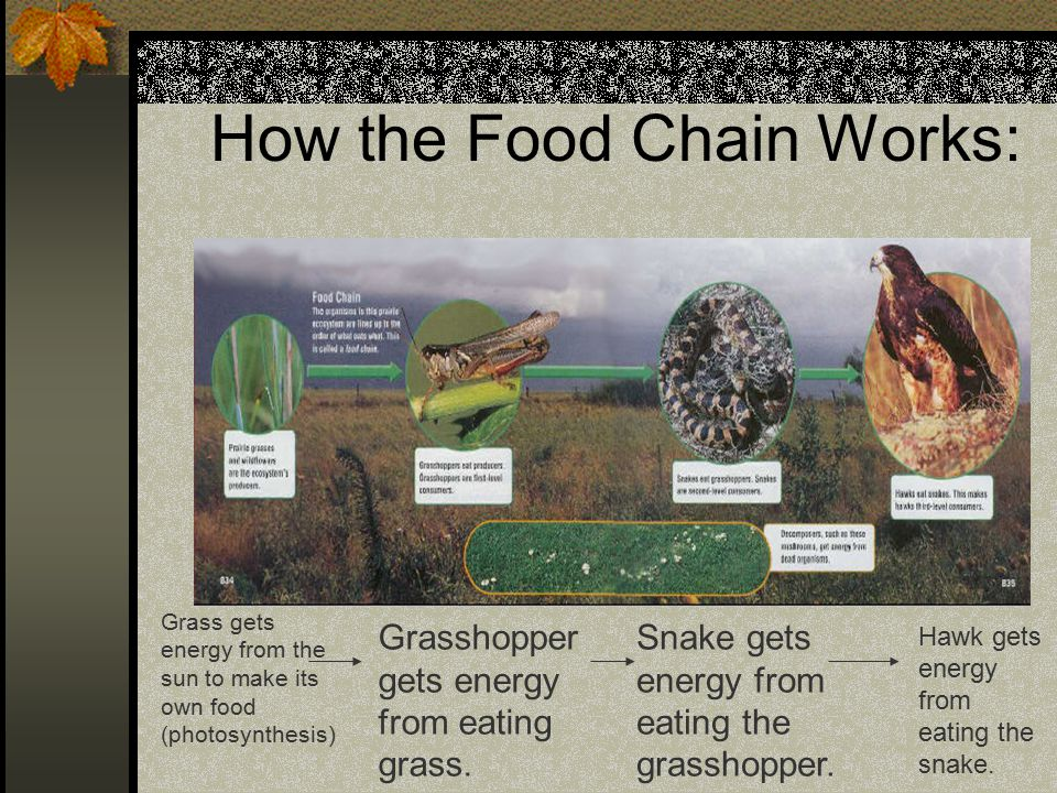 How the Food Chain Works: