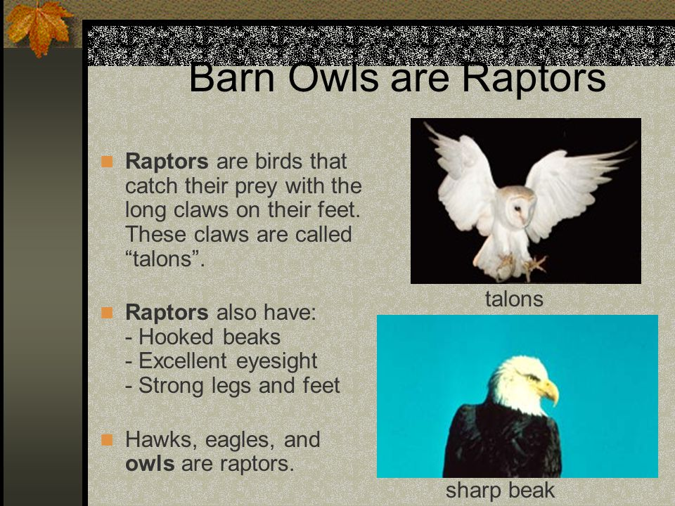 Barn Owls are Raptors Raptors are birds that catch their prey with the long claws on their feet. These claws are called talons .
