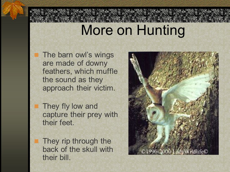 More on Hunting The barn owl's wings are made of downy feathers, which muffle the sound as they approach their victim.