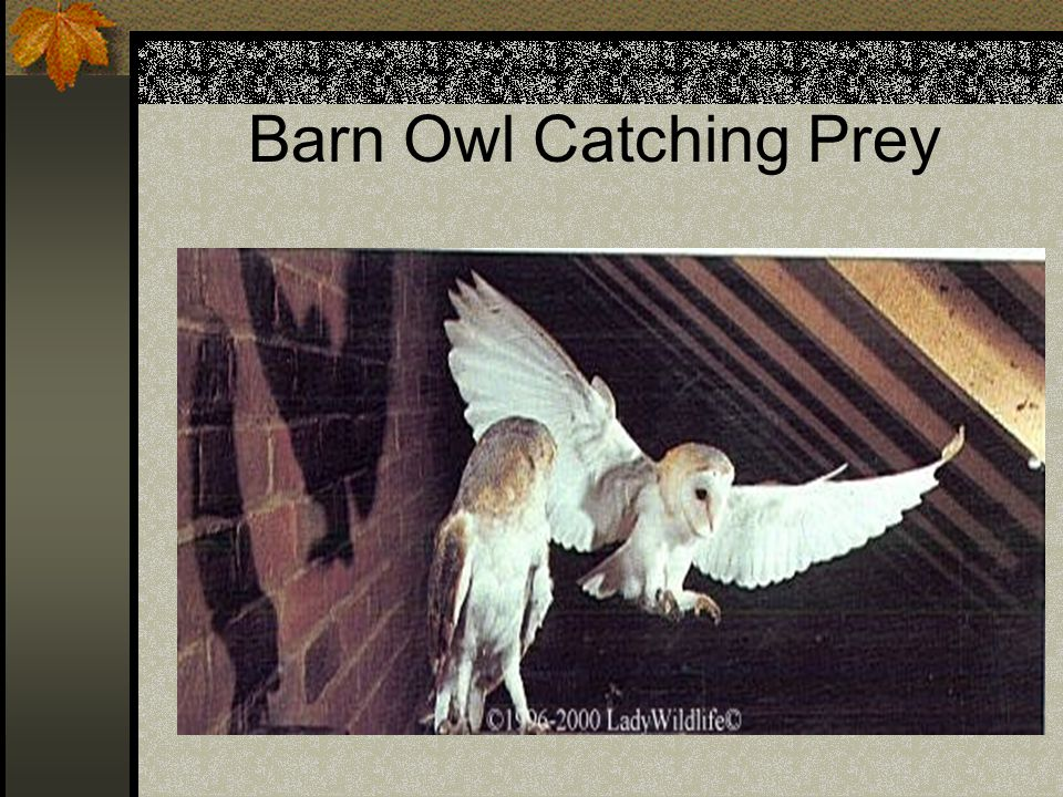 Barn Owl Catching Prey
