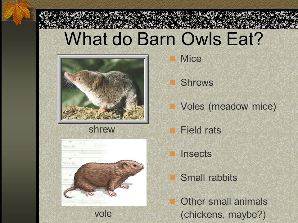 What do Barn Owls Eat Mice Shrews Voles (meadow mice) Field rats