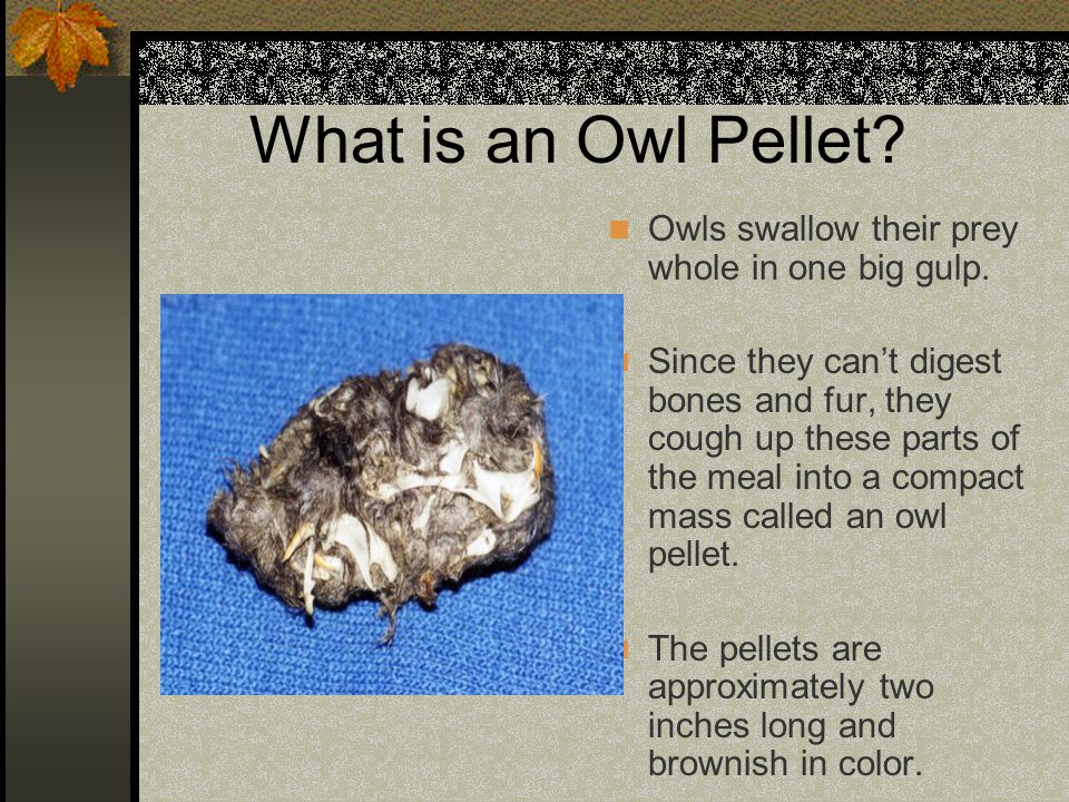 What is an Owl Pellet Owls swallow their prey whole in one big gulp.