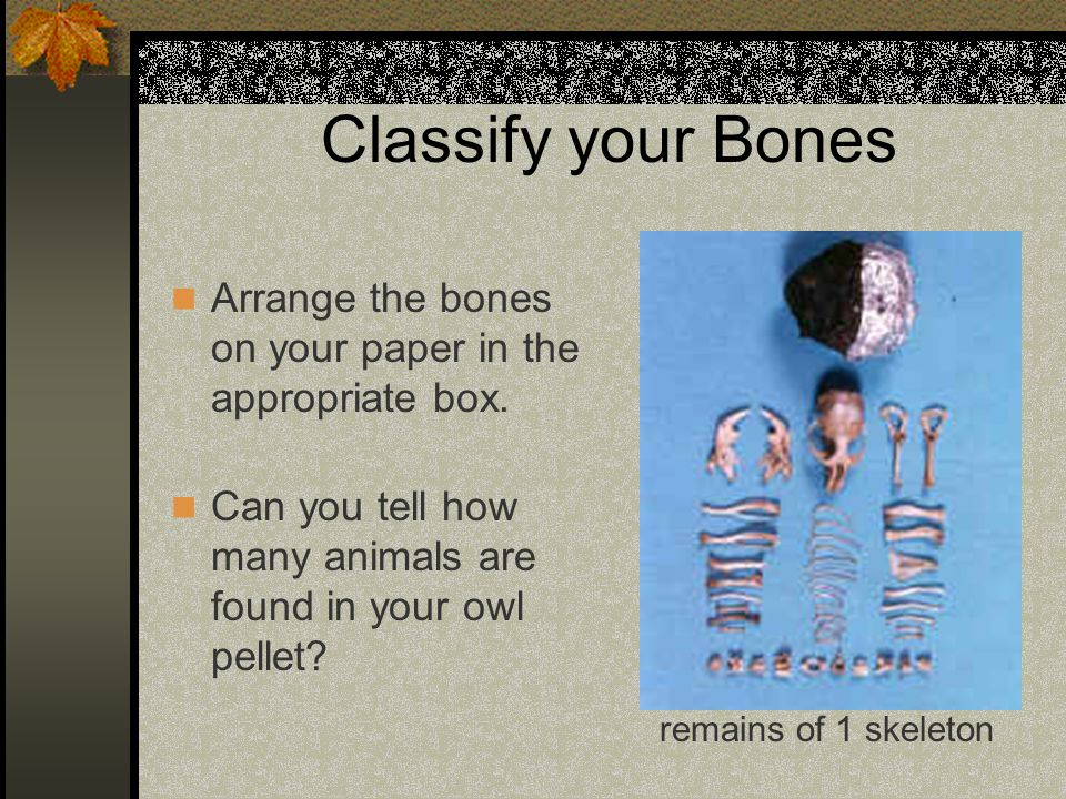 Classify your Bones Arrange the bones on your paper in the appropriate box. Can you tell how many animals are found in your owl pellet