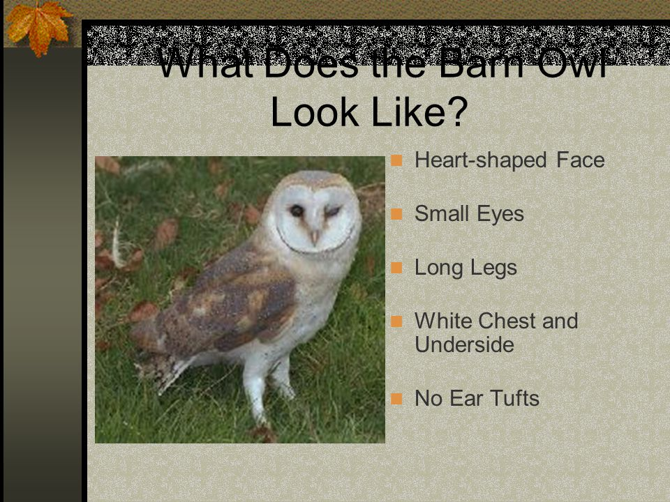 What Does the Barn Owl Look Like