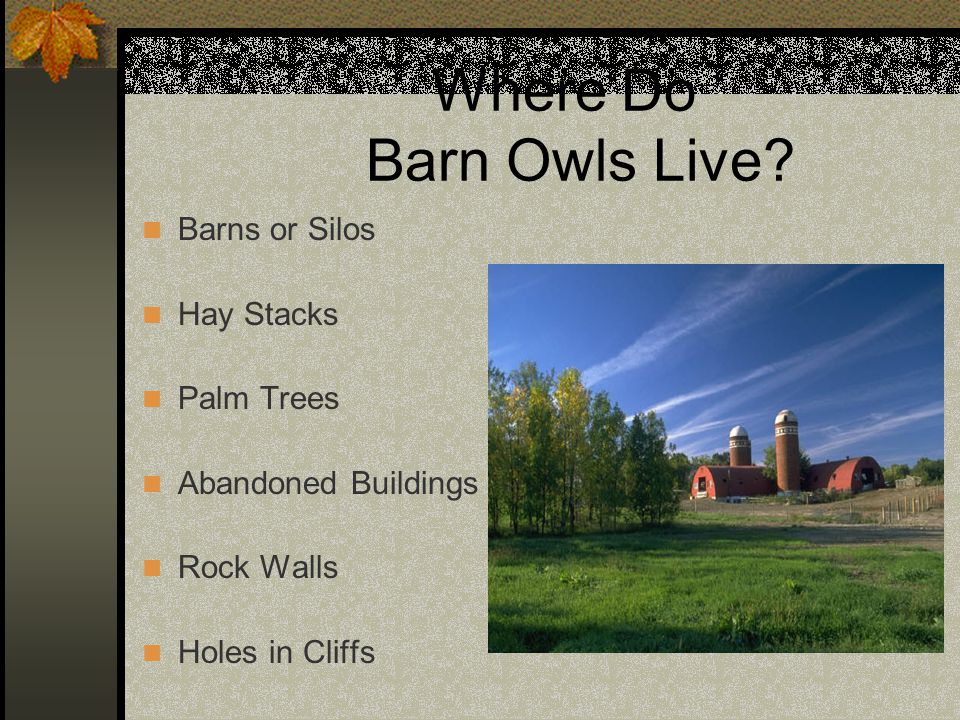 Where Do Barn Owls Live Barns or Silos Hay Stacks Palm Trees
