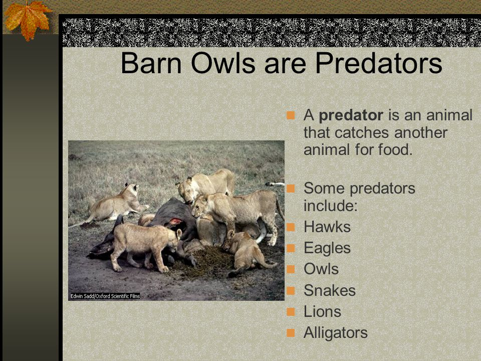 Barn Owls are Predators
