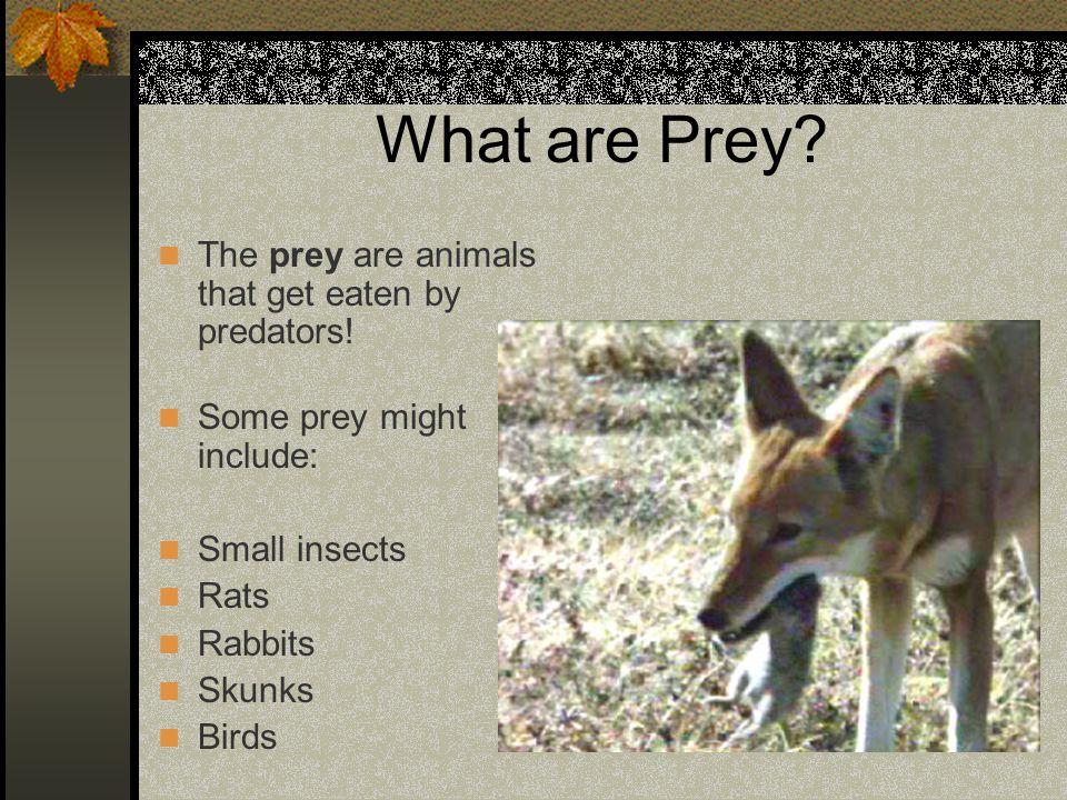 What are Prey The prey are animals that get eaten by predators!