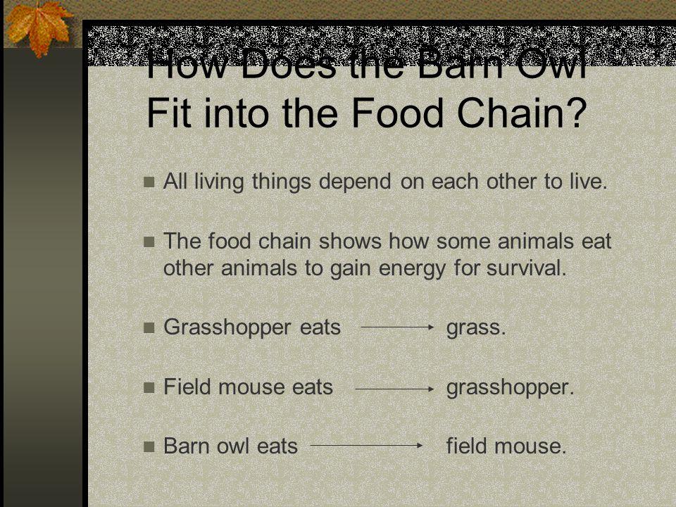 How Does the Barn Owl Fit into the Food Chain