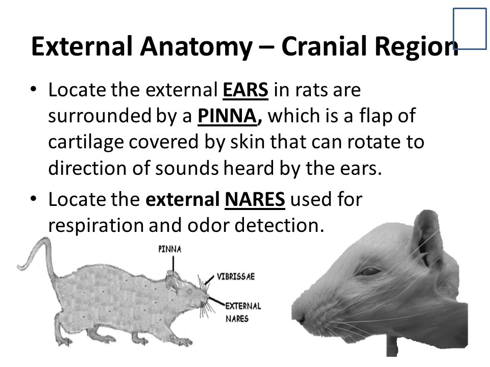 External Anatomy – Cranial Region