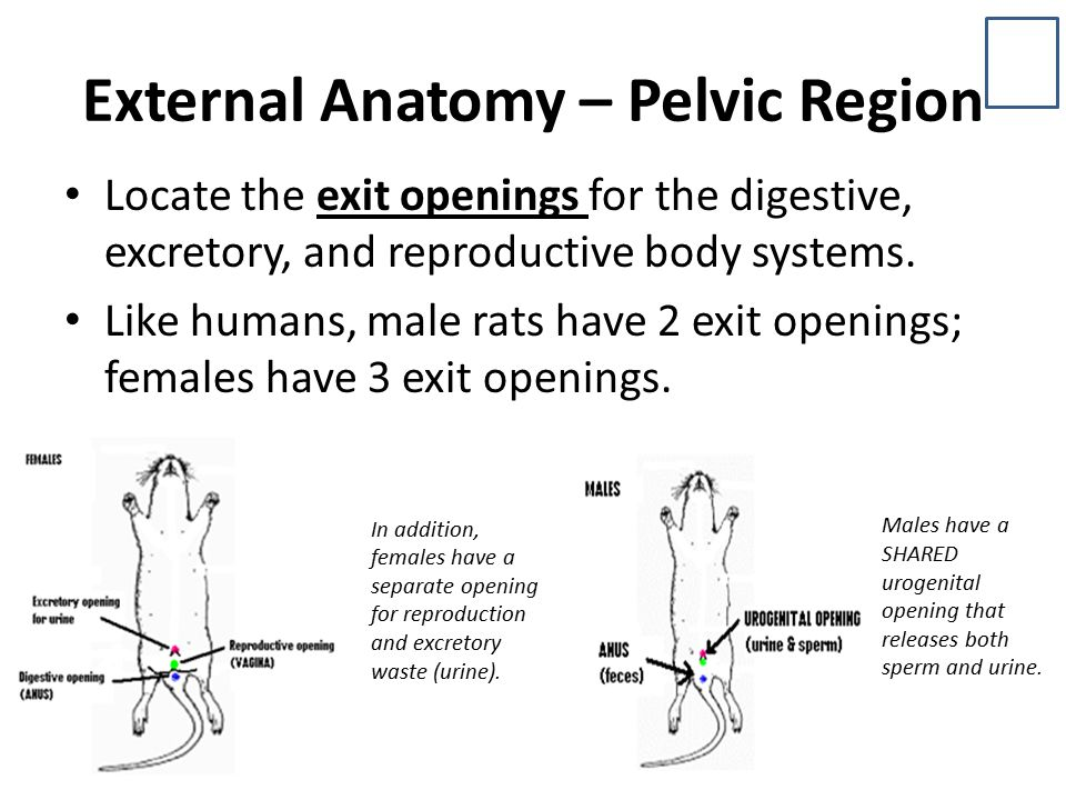 External Anatomy – Pelvic Region