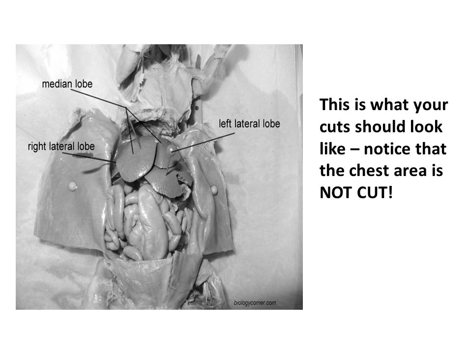 This is what your cuts should look like – notice that the chest area is NOT CUT!
