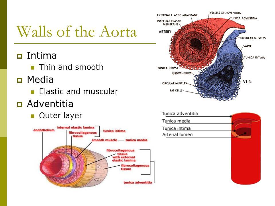 Walls of the Aorta Intima Media Adventitia Thin and smooth