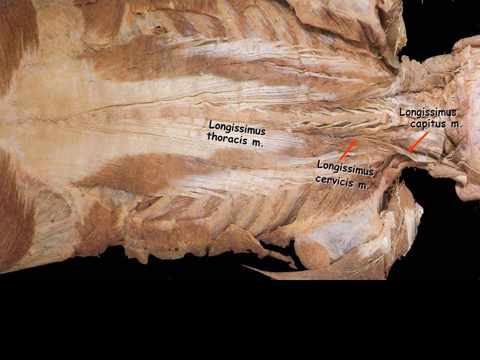 Longissimus thoracis m.