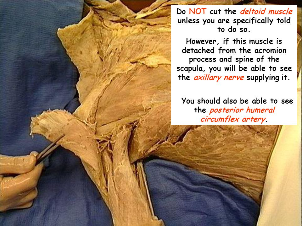Do NOT cut the deltoid muscle unless you are specifically told to do so.