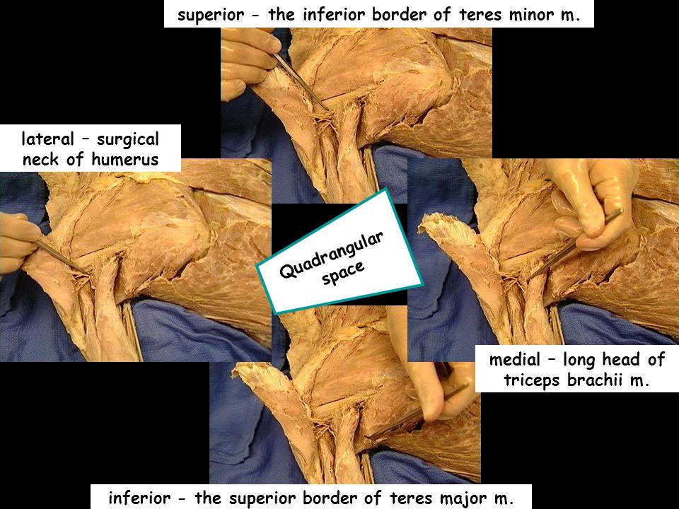 superior - the inferior border of teres minor m.