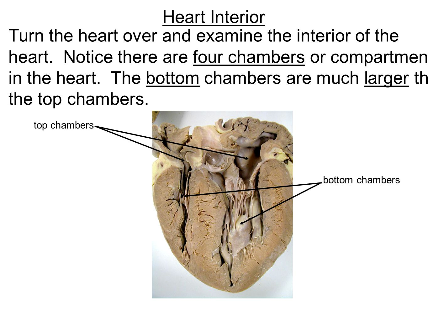 Turn the heart over and examine the interior of the