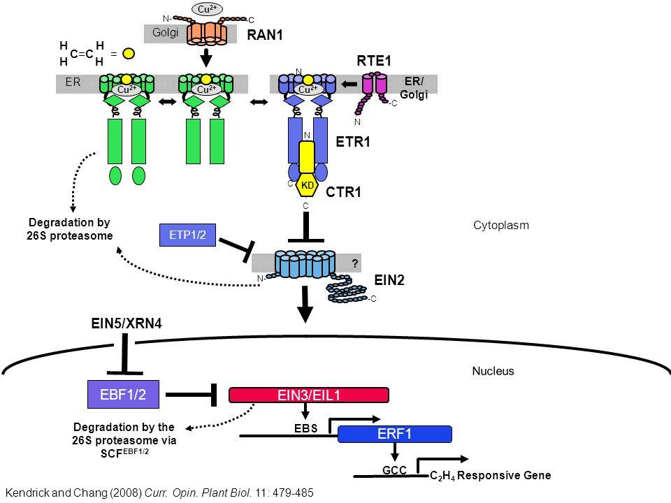 Degradation by the 26S proteasome via SCFEBF1/2