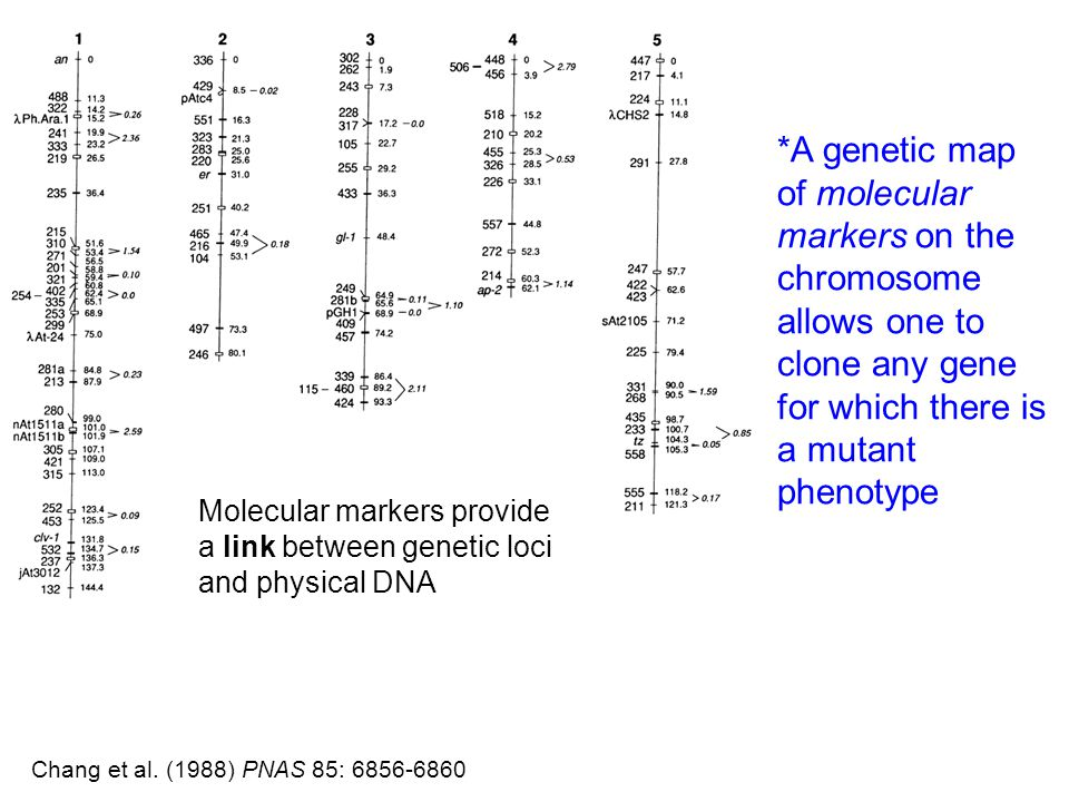 *A genetic map of molecular markers on the chromosome allows one to clone any gene for which there is a mutant phenotype