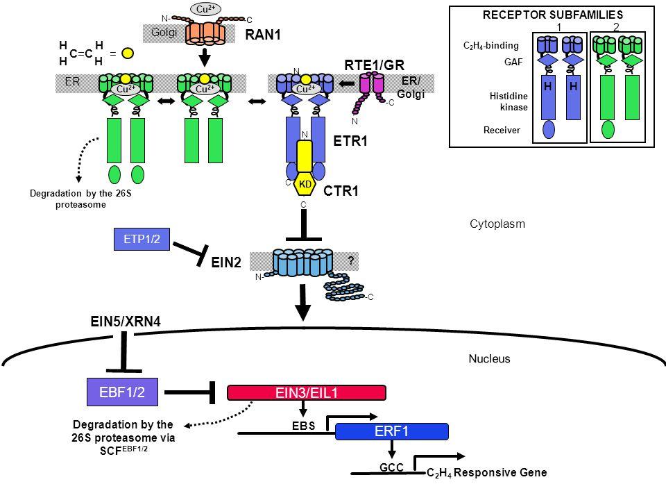 RAN1 RTE1/GR ETR1 CTR1 EIN2 EIN5/XRN4