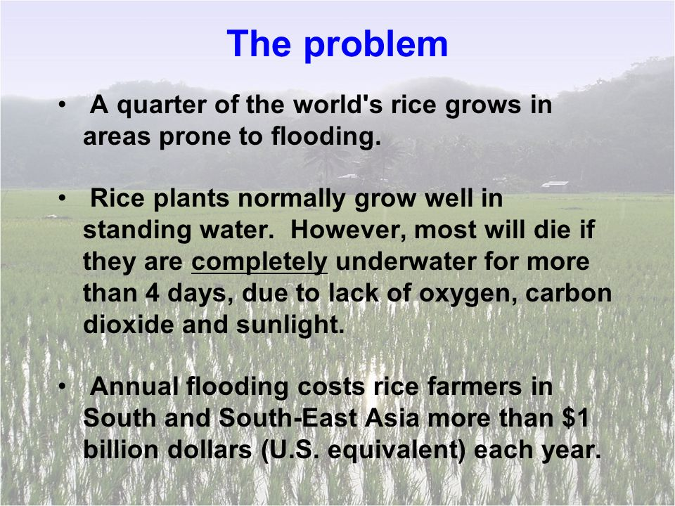 The problem A quarter of the world s rice grows in areas prone to flooding.