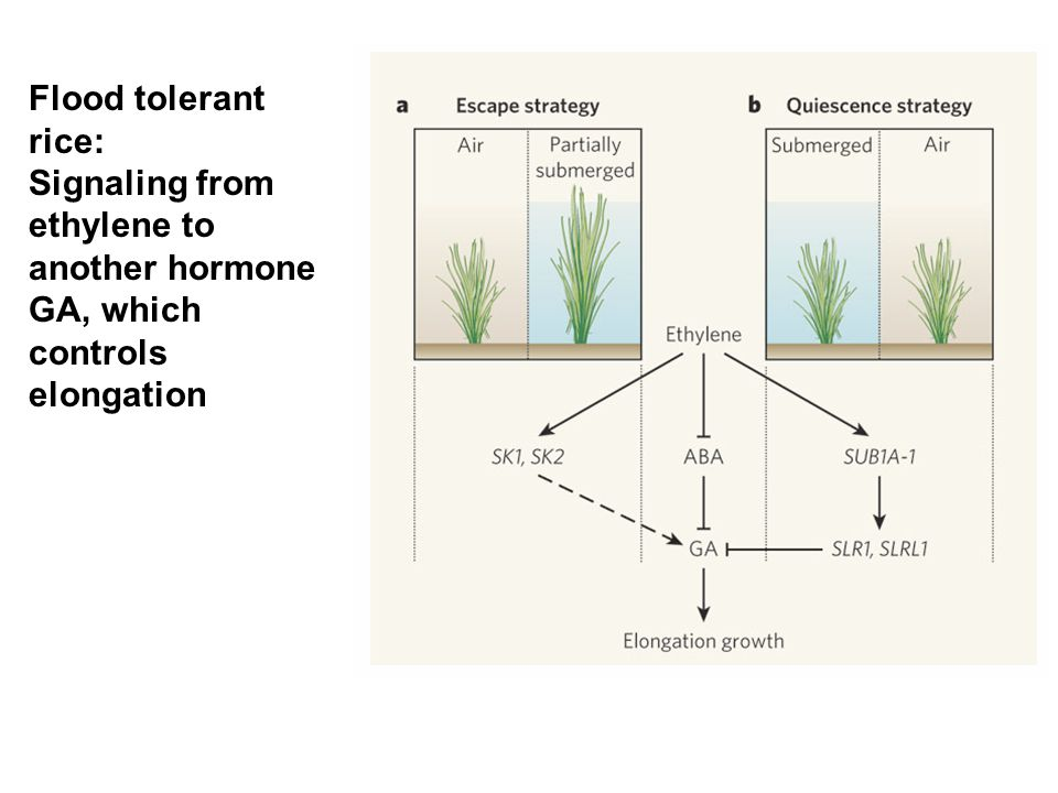 Flood tolerant rice: Signaling from ethylene to another hormone GA, which controls elongation. 1 billion per year lost to flooding.