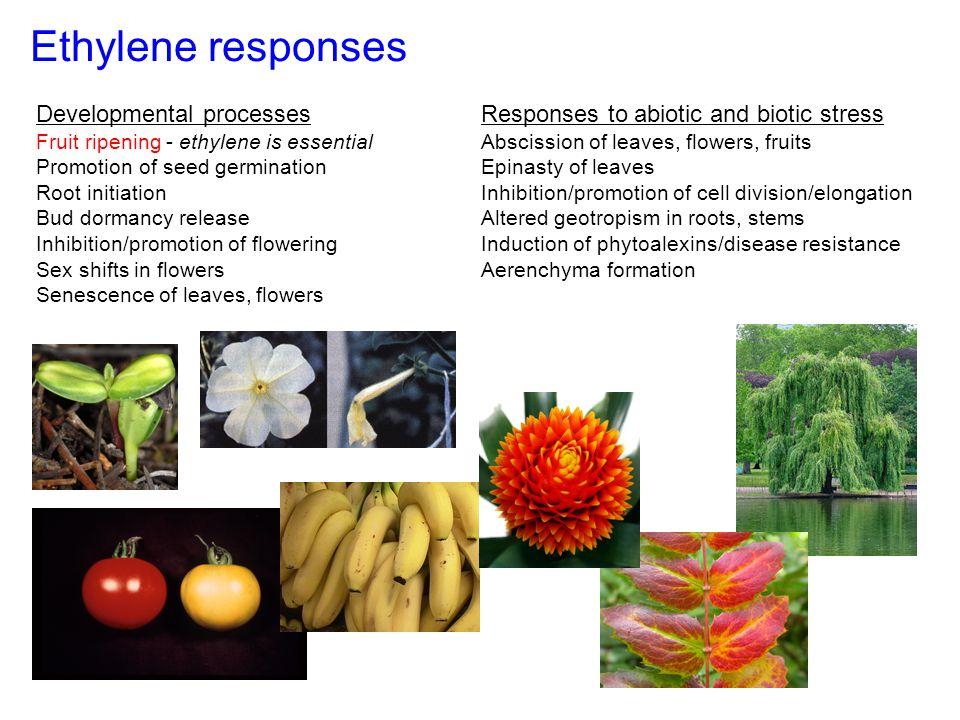Ethylene responses Developmental processes