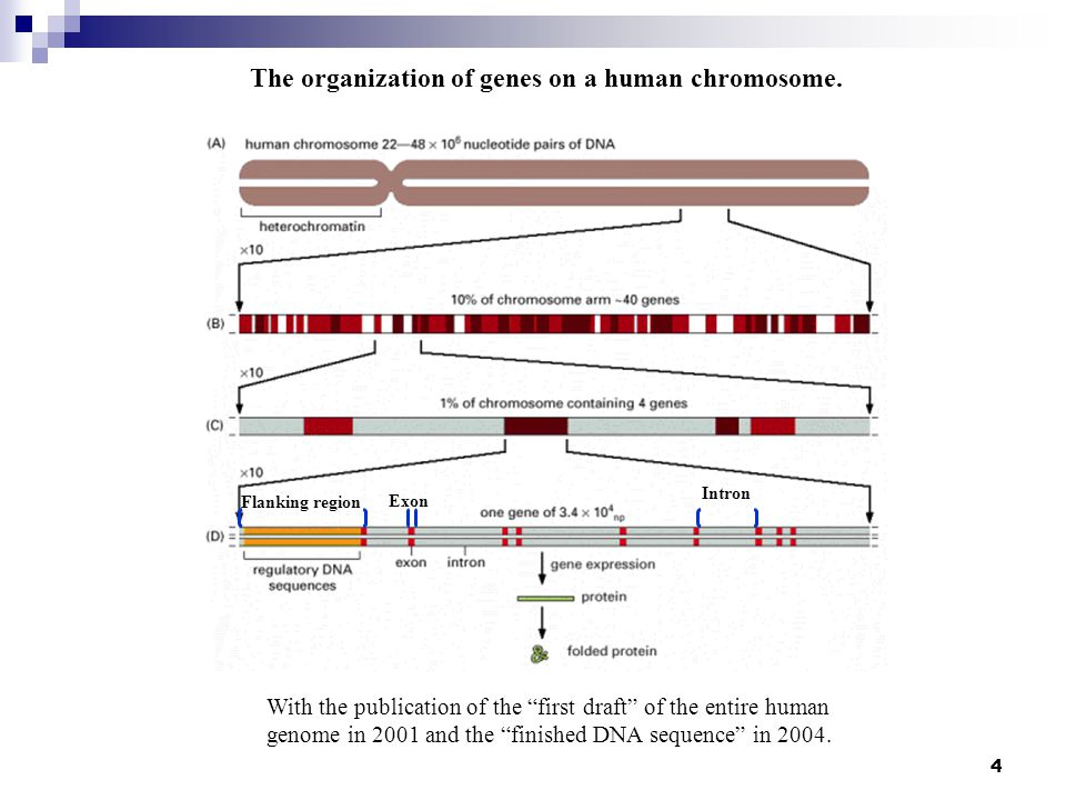 The organization of genes on a human chromosome.
