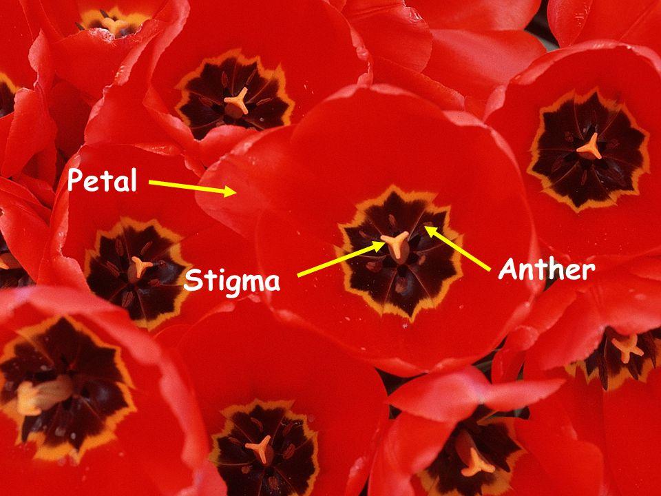 Petal Anther Stigma