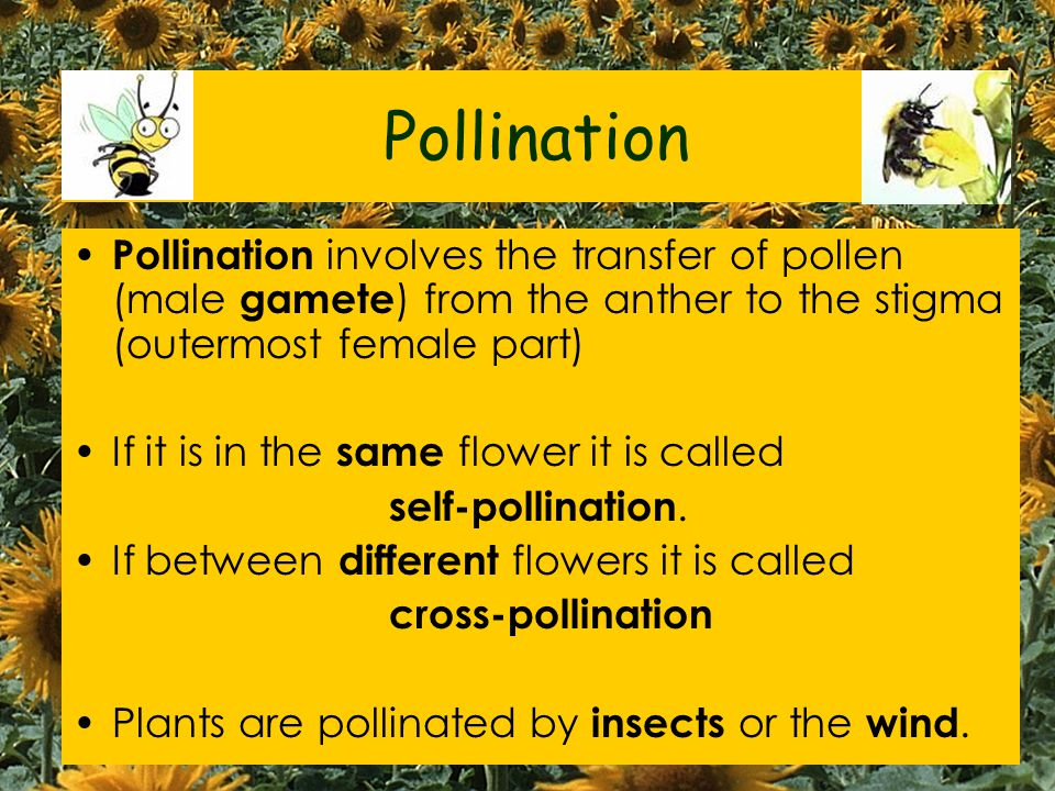 Pollination Pollination involves the transfer of pollen (male gamete) from the anther to the stigma (outermost female part)