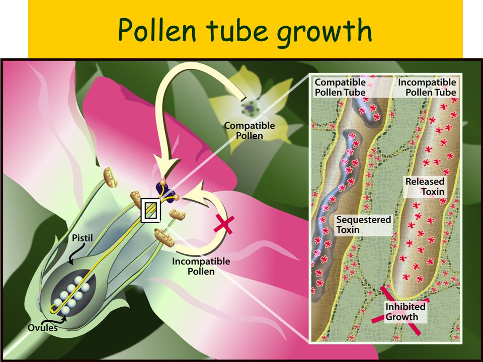 Pollen tube growth
