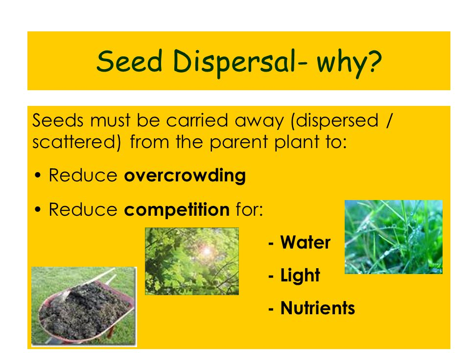 Seed Dispersal- why Seeds must be carried away (dispersed / scattered) from the parent plant to: Reduce overcrowding.